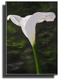the beautiful Calla - why is this such a beautiful shape?