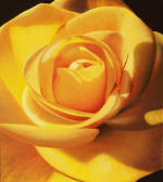 YELLOW & ORANGE ROSE PAINTINGS - visit the yellow rose and orange rose painting gallery! Rose paintings by Stephen Luce