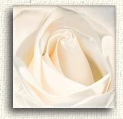 Available Rose Paintings