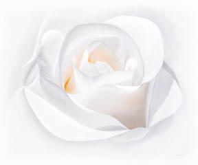A white rose painting called Fade to White